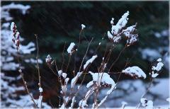Ветки под снегом. Зимние фото