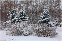 Голубые ели фото. Зимний парк. Зимний пейзаж