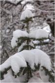 Макушка елки под снегом. Зимний парк фото