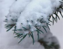 Иголки голубой ели под снегом. Крупное фото. Зимний парк