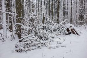В лесу после снегопада