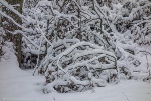 Ветки упавшего дерева под снегом