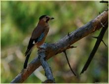 Птица-говорун. Отличается умом и сообразительностью