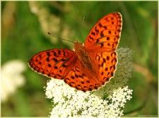 Красная бабочка на белом цветке