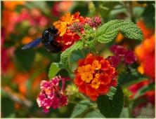 Большая черная муха, сидящая на цветке