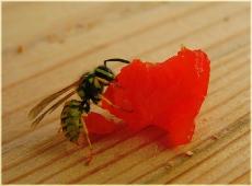 Оса. Фото высокого разрешения. Фото насекомых