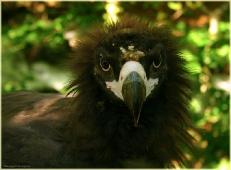 Взгляд орла. Фото птенца орла. Сип белоголовый