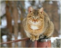 Кот в ожидании весны