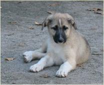 Фотография рыжего щенка. Фото кутят. Беспородные собаки