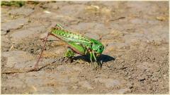 Большой зеленый кузнечик на дороге. Фотографии насекомых