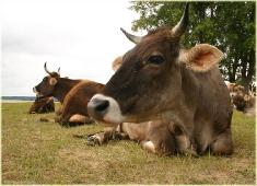 Фото коровы. Коровы отдыхают на лугу. Летнее пастбище