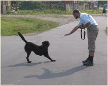 Как фотографировать собак. Черная собака тянется. Собака фотографируется
