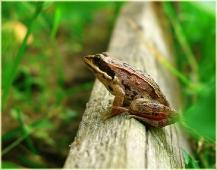 Фотография лягушки. Царевна лягушка. Фото животных высокого разрешения