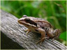 Фотография лягушки. Царевна лягушка. Фото животных. Купить фото
