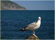 Фото чайки на фоне Медведь Горы. Черное море