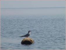 Крачка речная, сидящая на бревне. Горьковское море фото