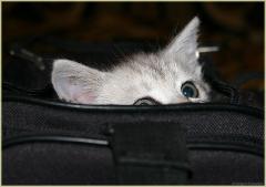 Котенок в сумке. Фотографии британских котят. Смешные котята