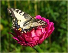 Фото бабочки. Махаон на цветке. Красивые бабочки. Фотографии насекомых