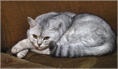 Фото британского серого кота на диване. Фото британских кошек