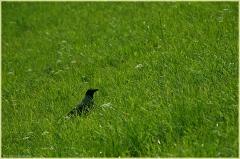 Ворона на лугу. Птицы средней полосы России. Фотографии птиц