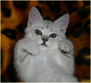 Красивый британский котенок. Котята британцы фото. Красивые фото котят
