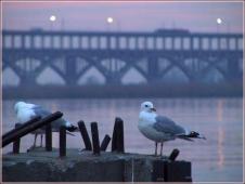 Чайки на закате. Борский мост через Волгу в Нижнем Новгороде