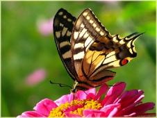 Взмах крыла бабочки. Самые красивые бабочки.  Махаон фото. Бабочки картинки