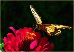 Фото бабочки. Красивая бабочка на цветке. Крылья Махаона. Фотографии насекомых