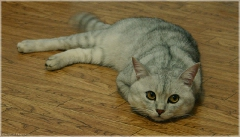 Грустный кот фото. Кот лежит на полу. Задумчивый кот. Серый кот фото