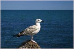 Чайка на камне. чайка птица фото. фото морских птиц. Seagull