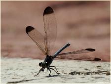 Фотография черной стрекозы. Black dragonfly