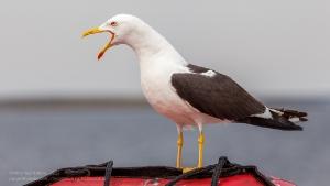 Крик чайки