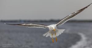 Чайка преследует корабль в Белом море