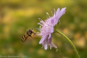 Фото мухи журчалки у цветка. Муха в полете