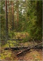 Темный леса. В лесной чаще. Сосны в чаще. поваленные деревья
