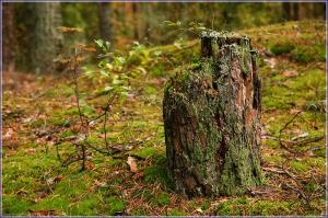 Трухлявый пень фото. Фотографии леса. Осенний лес. Пенек в лесу