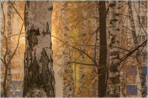 Восход солнца в березовой роще на фоне высоток