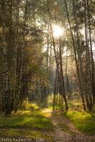 Солнце в березовой роще. Осеннее утро. Фото