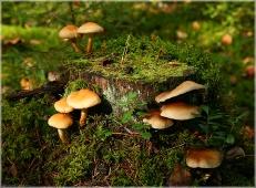 Грибы на пеньке. Лесное семейство. Несъедобные грибы. Фото