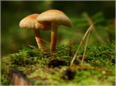 Грибы на пеньке. Два гриба. Несъедобные грибы. Фото