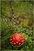 Гриб мухомор фото. Шляпка мухомора в траве. Лесной маяк. Фото красного мухомора