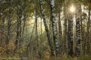 Утро в березовом лесу. Восход солнца. Туман. Фото