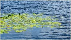 Растение кубышка желтая фото. Самые красивые фото лета 2011