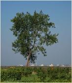 Одинокое дерево над городом. Фото Нижнего Новгорода. Нижегородский Кремль