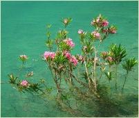 Розовые цветы у горного озера