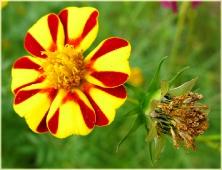 Фото садовых цветов