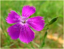 Цветок Часики. Фото высокого разрешения