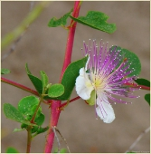 Белый цветок с фиолетовыми тычинками
