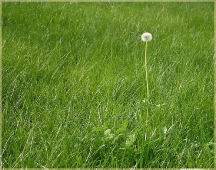 Фотографии цветов. Одинокий одуванчик лекарственный