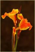 Оранжевые цветы, похожие на ирисы